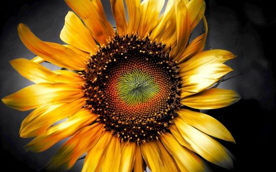 Sunflower-art-3d